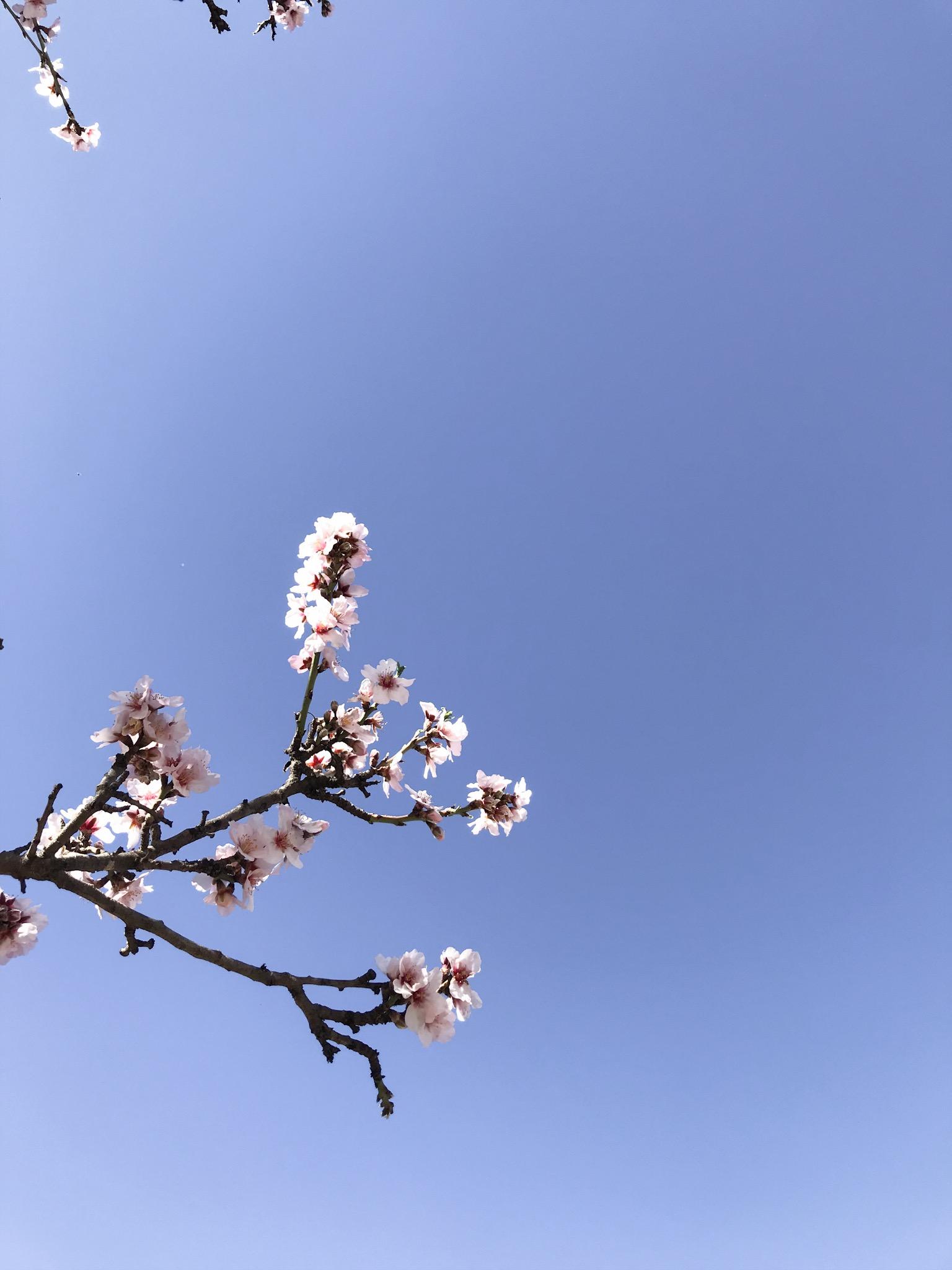 kwiaty migdałowca